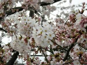 ソメイヨシノ 2009.4.5